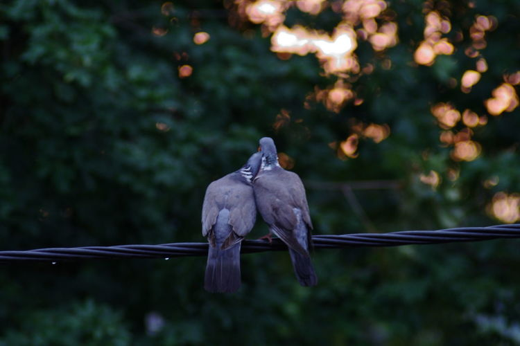 Close-up of birds mating on cable