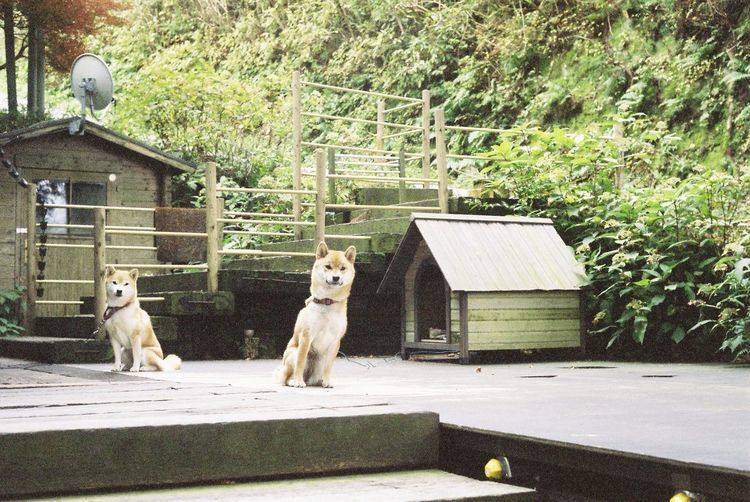 Portrait of dogs against dog house