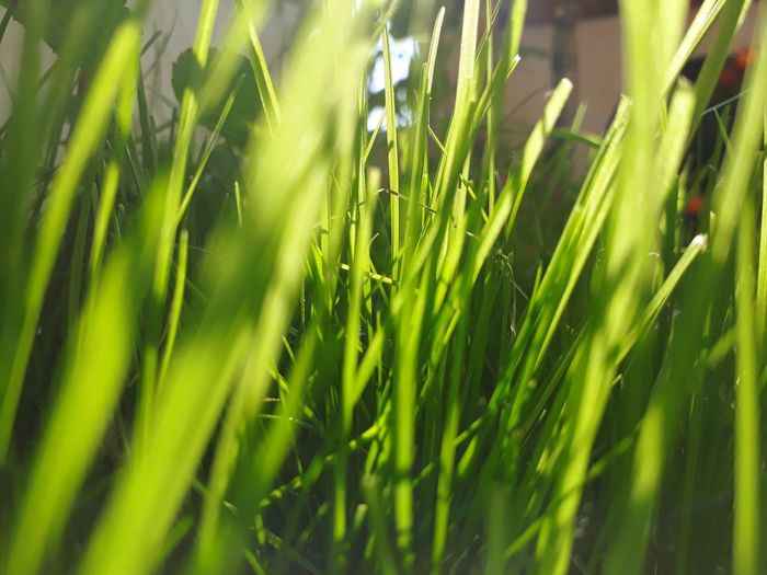 Cereal Plant Rice Paddy Agriculture Close-up Grass Plant Green Color Farmland Agricultural Field Cultivated Land Plantation Blade Of Grass