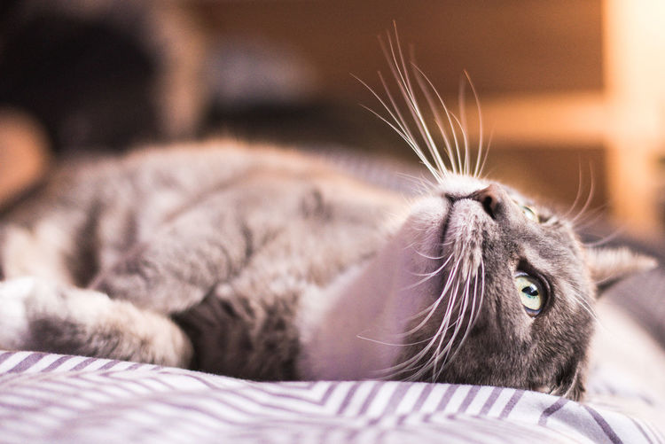 Close-up of a cat lying on bed