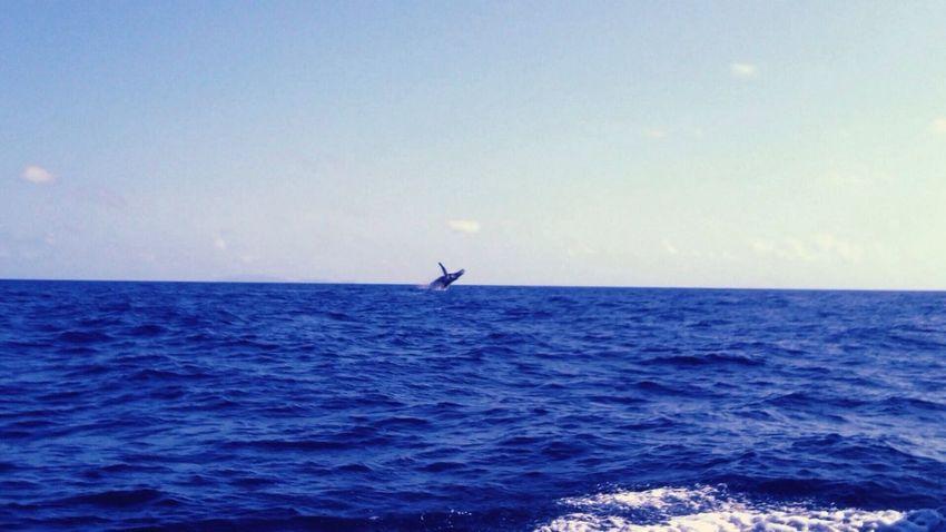 ザトウクジラのジャンプ ogasawara 父島