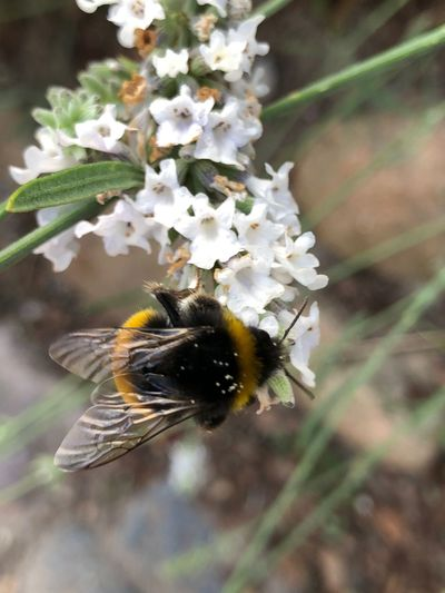 Bumblebee IPhone X Photography IPhone X IPhone X Invertebrate Insect Animals In The Wild Flower Bee Flowering Plant Animal Themes Animal Wildlife Beauty In Nature One Animal Plant Animal Close-up Fragility Focus On Foreground Nature Growth Vulnerability  Freshness Petal
