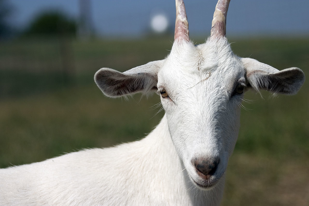Close-Up Portrait Of Goat On Field
