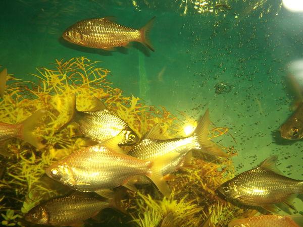 Fish In Aquarium Animal Themes Fish Freshwater Fish Golden Fishes Nature Sea Life UnderSea Underwater