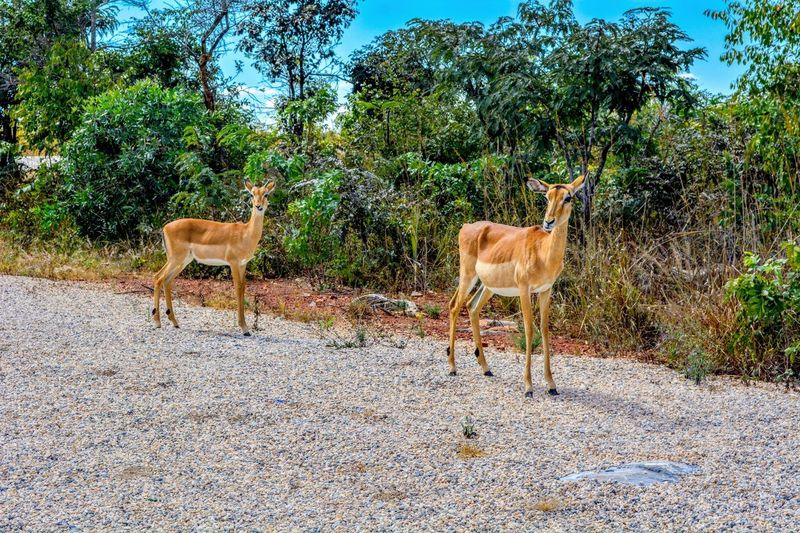 Impalas standing in a field