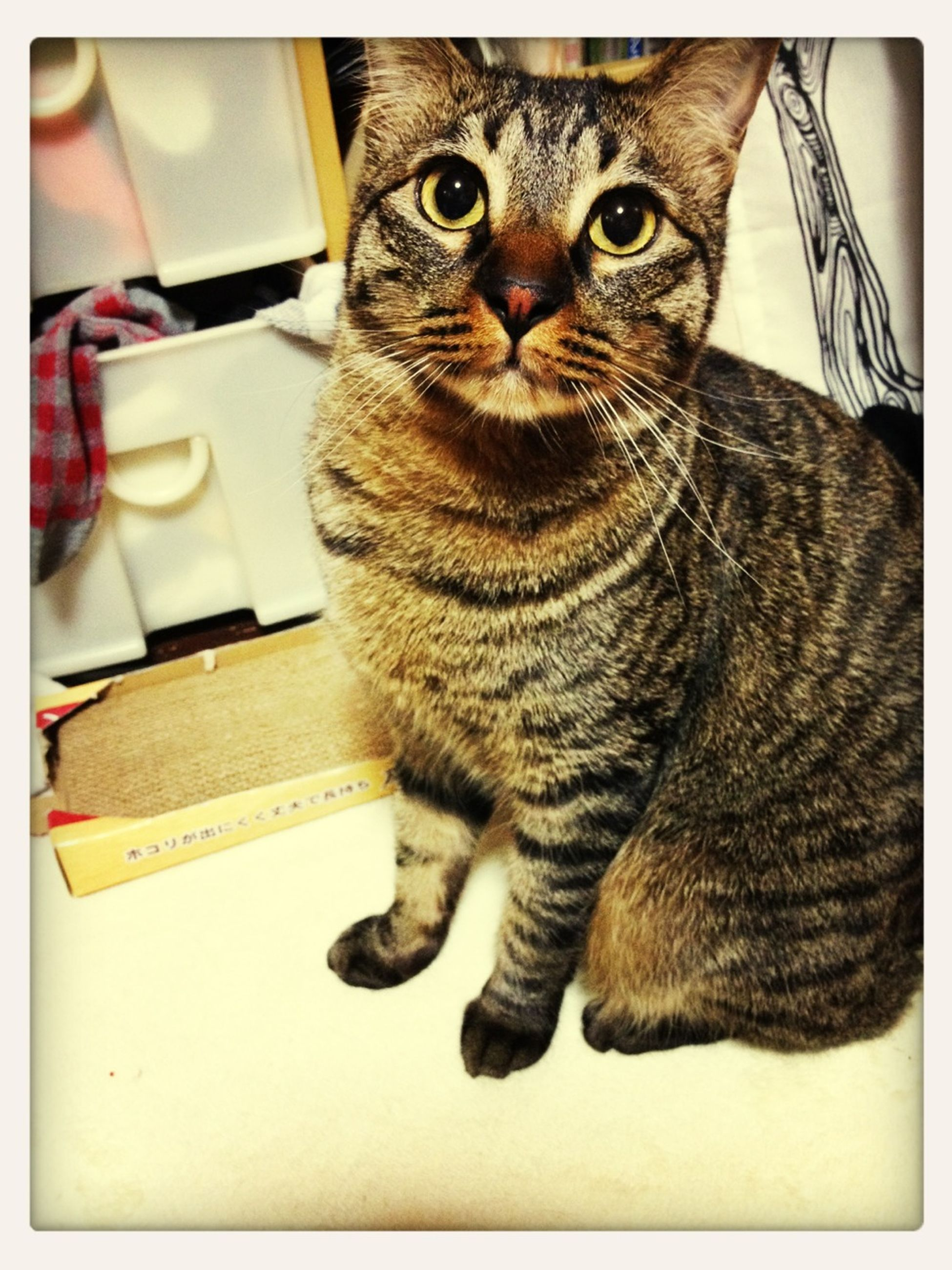 domestic cat, cat, one animal, pets, animal themes, feline, indoors, domestic animals, mammal, whisker, portrait, looking at camera, relaxation, full length, alertness, auto post production filter, sitting, high angle view, close-up, transfer print