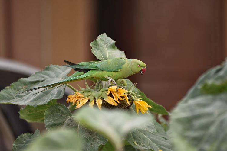 parrot on the sunflower. Parrot Bird Liveing Life Outdoor Photography Flower Leaf Close-up Animal Themes Plant Green Color Flowering Plant Flower Head Plant Part Single Flower Blooming In Bloom
