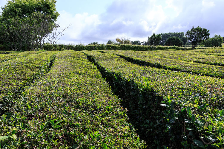 Tea Plantations Azores, S. Miguel Azores Islands Plant Growth Field Land Agriculture Landscape Sky Beauty In Nature Cloud - Sky Scenics - Nature Tranquil Scene Tranquility Environment Rural Scene Green Color Tree Nature Crop  Farm No People Outdoors Plantation