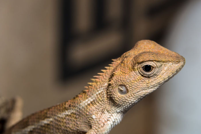 Take a closer look at the chameleon Animal Themes Animal Wildlife Animals In The Wild Bearded Dragon Close-up Day Focus On Foreground Iguana Lizard Nature No People One Animal Outdoors Reptile