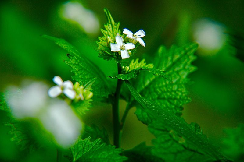 Botany Edible Wild Plant Alliaria Petiolata Garlic Mustard Plant Green Color Growth Flower Flowering Plant Beauty In Nature Close-up Freshness Nature Plant Part Vulnerability  Leaf Fragility No People White Color Day Selective Focus Springtime Focus On Foreground