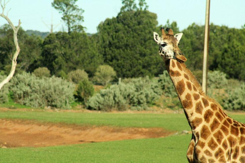 Close up giraffe Giraffe♥ Animal Wildlife Animal Themes