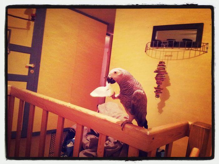 Parrot African Grey Mypet Gråjako ♡