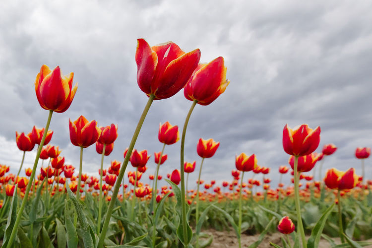 Close-up of red flowers growing on field against sky