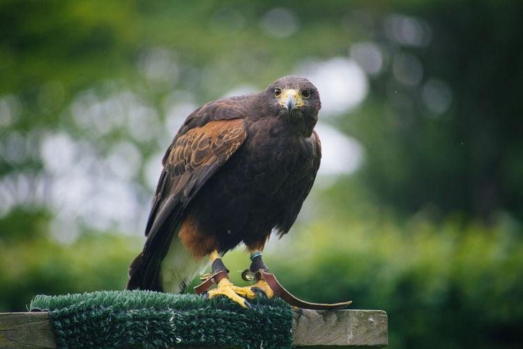 Close-up of hawk flying at park