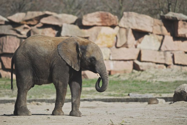 Side view of elephant calf