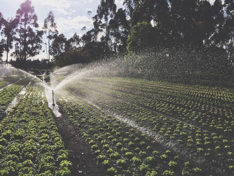 Plantation of lettuces Irrigation Lettuce Plants Plantation Sky Water