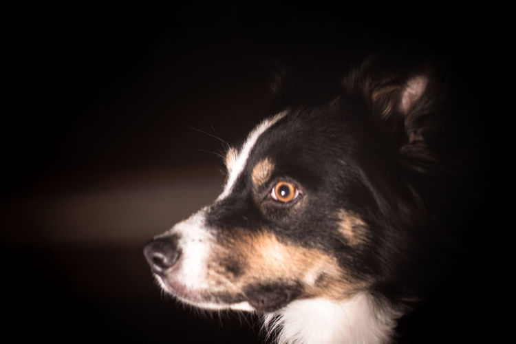 A border collie against a dark background. Animal Animal Body Part Black Background Border Border Collie Close-up Dark Dog Mammal No People One Animal Pets