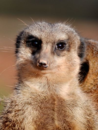 One Animal Looking At Camera Portrait Animal Themes No People Close-up Nature Zoo Zoo Leipzig Meerkat Erdmännchen Animals EyeEmNewHere Premium Collection