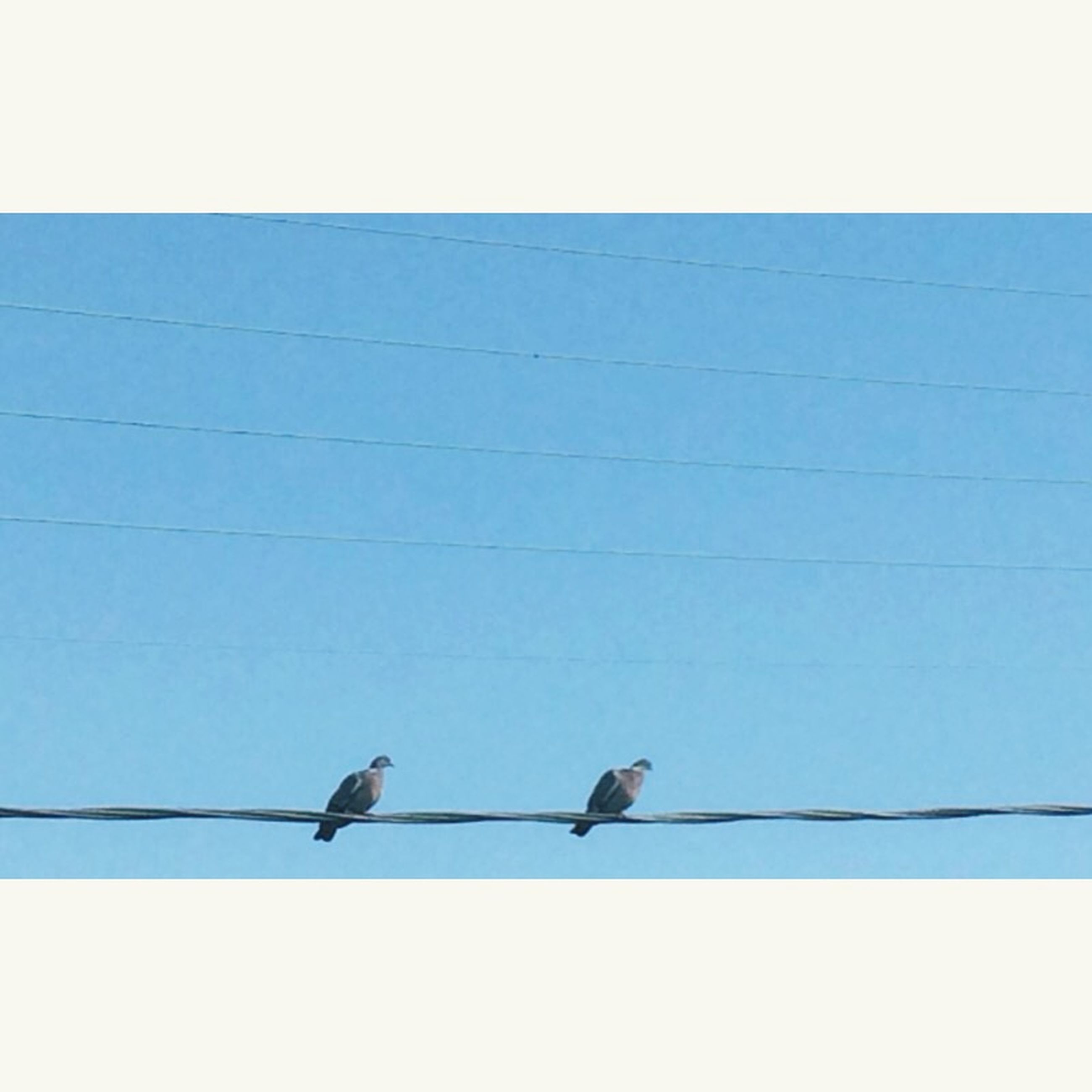 bird, animal themes, animals in the wild, wildlife, low angle view, perching, clear sky, power line, cable, blue, one animal, flying, sky, avian, copy space, zoology, day, outdoors, pigeon