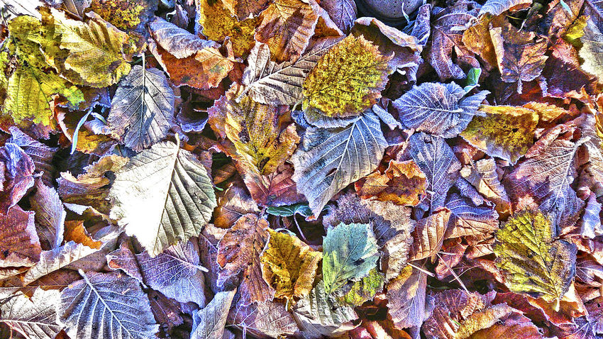 Autumn Autumn Leaves Backgrounds Blätter Mit Raureif Bodenfrost Bunte Blätter Close-up Day Herbstlaub Multi Colored Nature No People Outdoors Raureif  Variation White Frost