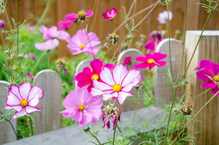 Cosmos Beauty In Nature Close-up Cosmos Bipinnatus Cosmos Flower Day Flower Flower Head Flowering Plant Focus On Foreground Fragility Freshness Growth Inflorescence Nature No People Outdoors Petal Pink Color Plant Pollen Purple Selective Focus Vulnerability