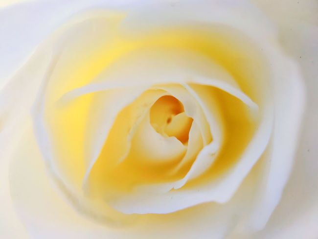 Flower Petal Nature Freshness Fragility Beauty In Nature Yellow Flower Head Full Frame No People Growth Softness Rose - Flower Backgrounds Close-up Plant Blooming Outdoors Day Textured  Macroclique Macro Whiterose Elegant Divine Beauty