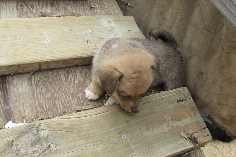 Corgi puppy sitting on wooden ramp