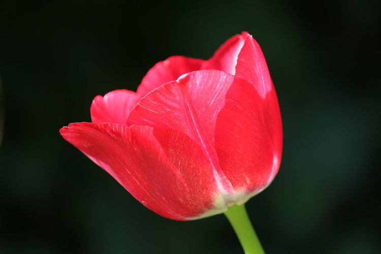 Close-up of pink tulip flower