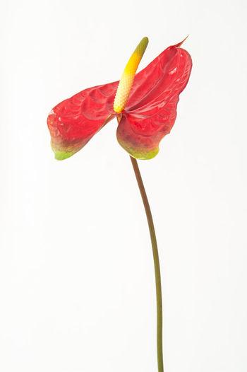 Boy Flower Flamingo Flower Flower Flower Head Fragility Freshness No People Petal Prime Red Studio Shot White Background