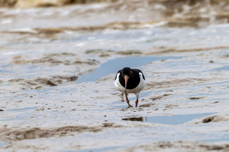 Oystercatcher, haematopus ostralegus, catching flat worms in the mud flats at bradwell on sea, essex