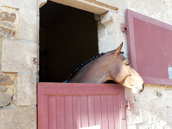 Horse Head EyeEmSelect Haras D Hennebont Parfum D Amour Du Bois Haras Nationaux National Stud Criniere Wisp Domestic Animals Haras Horse Horse Theme Etalon Mane Mähne One Animal Pets Relaxation Area Stud Horsetail