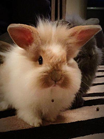 Bunny  Rabbit Fluffybunny Rabbit Ears Rabbitworld Bunny Love Bunny