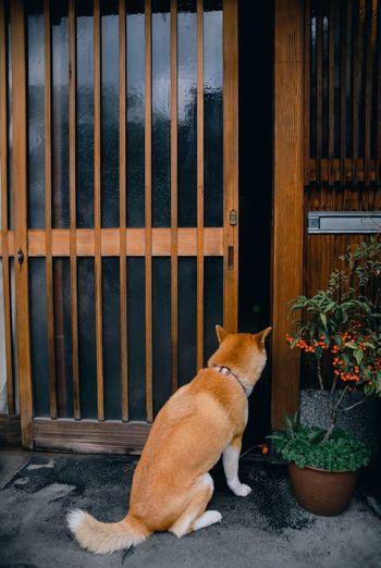 Shiba Dog Pet Kyoto Door Curious