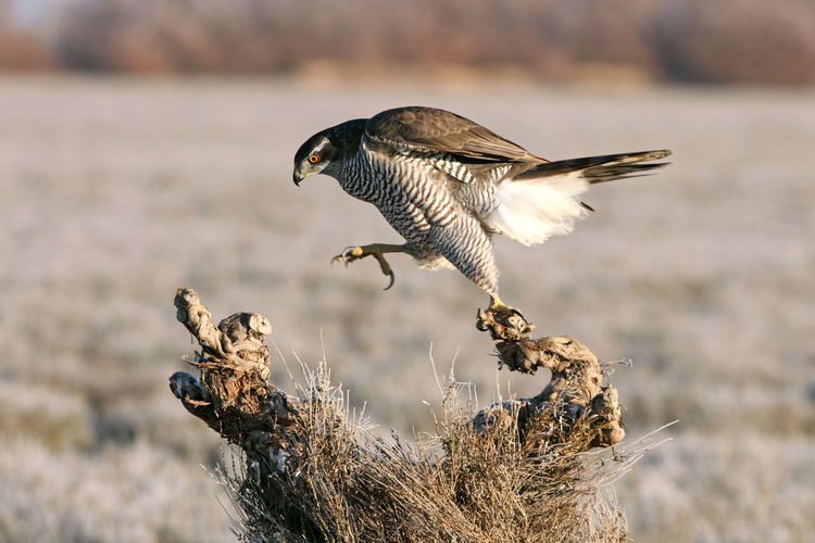 Full length of falcon perching on tree stump