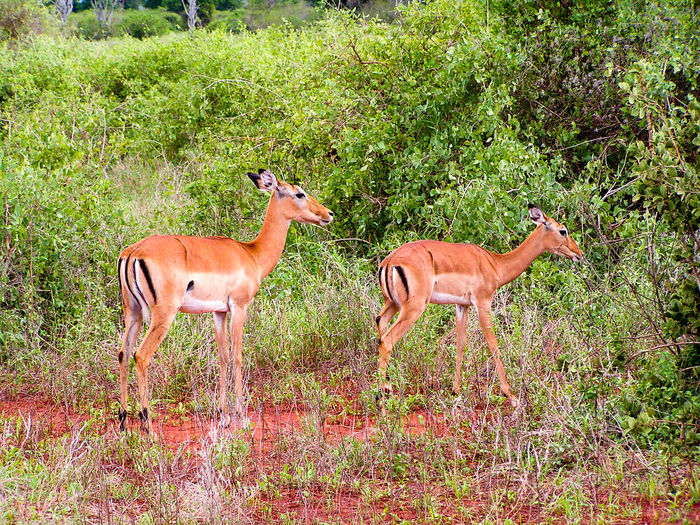 Afcria Animal Themes Animals In The Wild Deer Dig Dig Ganze Gazelle Grass Kenia Mammal Nature Outdoors Safari Safari Animals Standing Togetherness