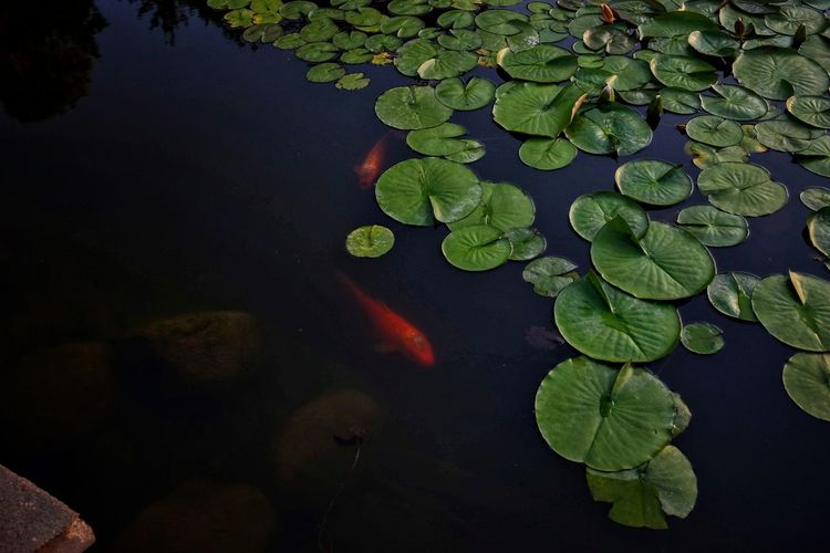 Visual Journal June 2018 Sunken Gardens Lincoln, Nebraska A Day In The Life Always Making Photographs Camera Work Copy Space EyeEm Best Shots Getty Images Koi Photo Essay Sunken Gardens Visual Journal Backgrounds Beauty In Nature Day Fish Floating Floating On Water Fujifilm_xseries Gardens Green Color Growth High Angle View Koi Carp Koi Pond Lake Leaf Leaves Lillypads Long Form Storytelling Marine Nature No People Outdoors Photo Diary Plant Plant Part Practicing Photography S.ramos June 2018 Water Water Lily The Great Outdoors - 2018 EyeEm Awards