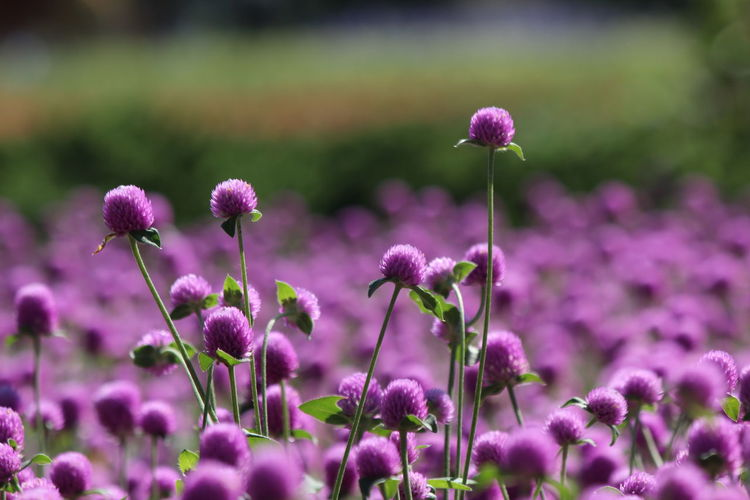 Bachelor Buttons Globe Amaranth Flower Beauty In Nature Blooming Close-up Day Flower Flower Head Focus On Foreground Fragility Freshness Growth Nature No People Outdoors Petal Plant Purple
