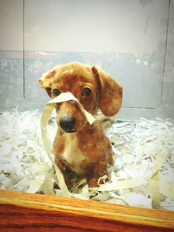 Pet Petstore Animal Dachshund Taking Photos Forsale Cuteness