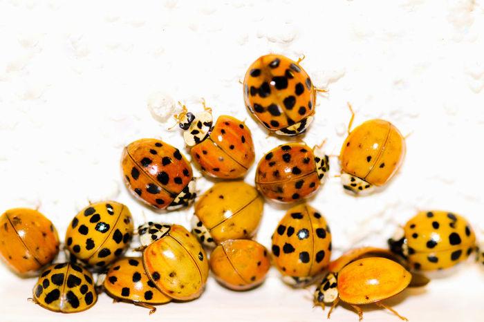 No People White Background Studio Shot Close-up Nature Animal Themes Day Outdoors Ladybug Animal Wildlife Ladybugs Ladybug🐞 Ladybug Collection Ladybeetle LadyBugLove Ladybug😊😊🐞🐞🐞 Ladybugmacro Ladybugs Photography