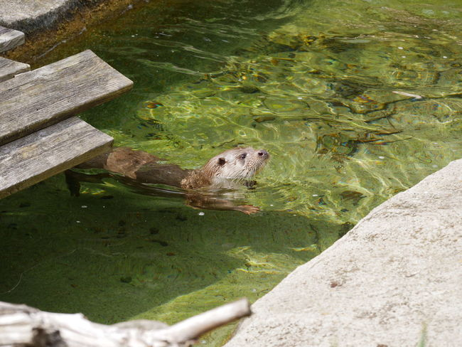 Otter Zoo Animal Themes Animal Wildlife Animals In The Wild Day Full Length Mammal Nature No People One Animal Otter Outdoors Swimming Water Waterfront Zoo Animals