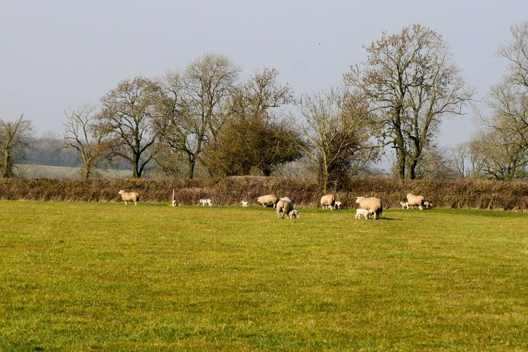 Showcase March Countryside Uk Sheep Lambs Country Shots Playing Nikond3300