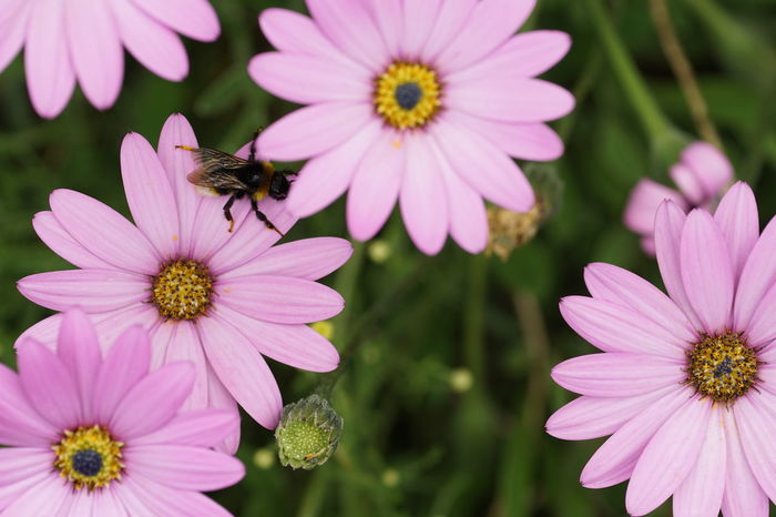 Animal Themes Animal Wildlife Animals In The Wild Beauty In Nature Bee Blooming Close-up Day Flower Flower Head Focus On Foreground Fragility Freshness Growth Insect Nature Naturelovers No People One Animal Osteospermum Outdoors Petal Plant Pollen Pollination