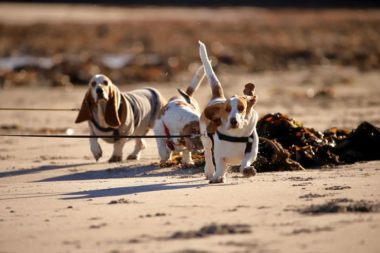 Dogs running on sand