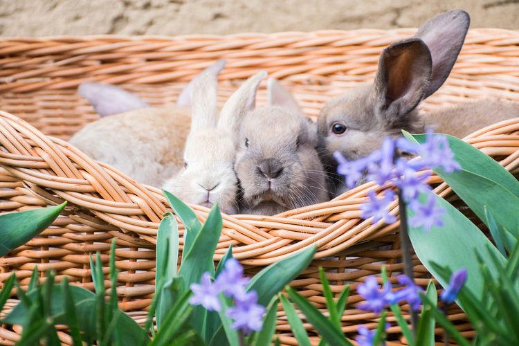 Rabbits in basket