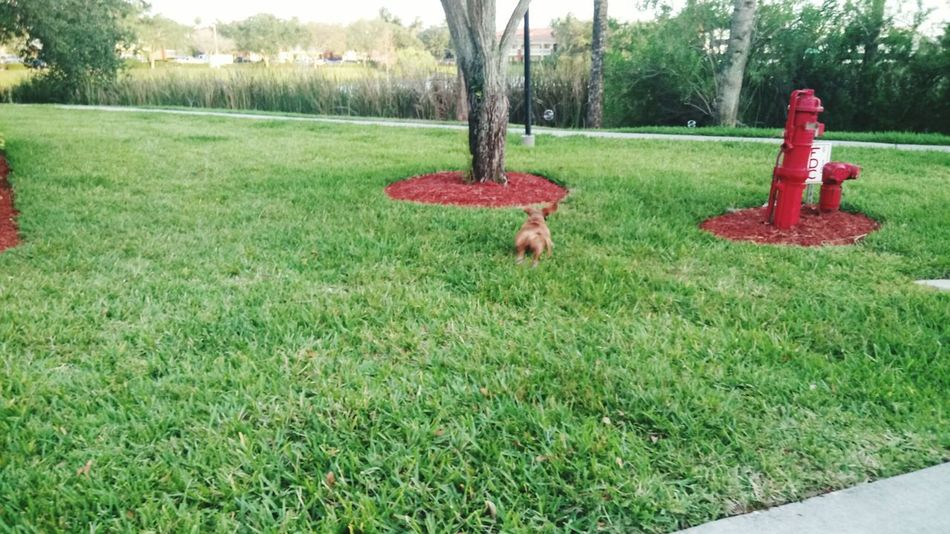Hey bubble I am gonna catch you Grass Tree Growth Nature Green Color Park - Man Made Space Outdoors Red Day Field No People Tree Trunk Beauty In Nature Animal Themes Mammal EyeEmNewHere Dashund Dogslife