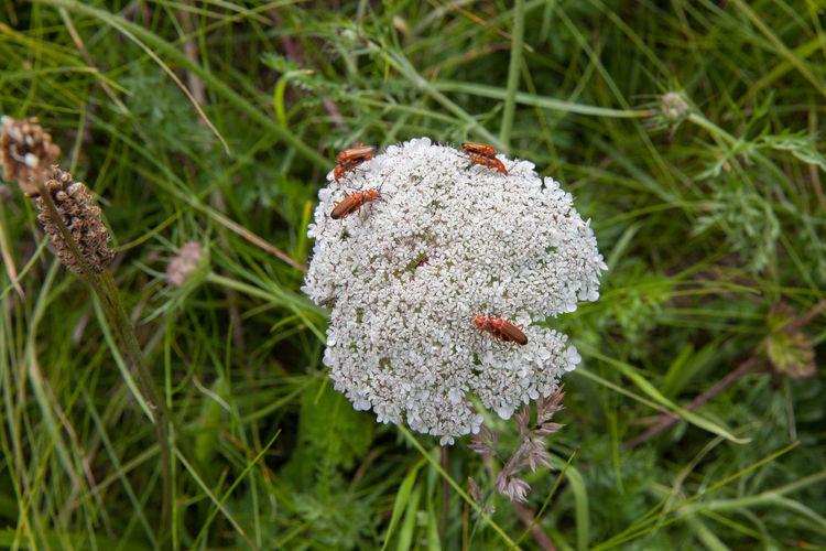 Anglesey Beach Beetle Beetles Beetles Making Love Britain Coast Coastline Dwynwen Flower Gwynedd Island Llanddwyn Island Ruins Summer Tidal Wales Wildflowers Wildlife Wildlife & Nature