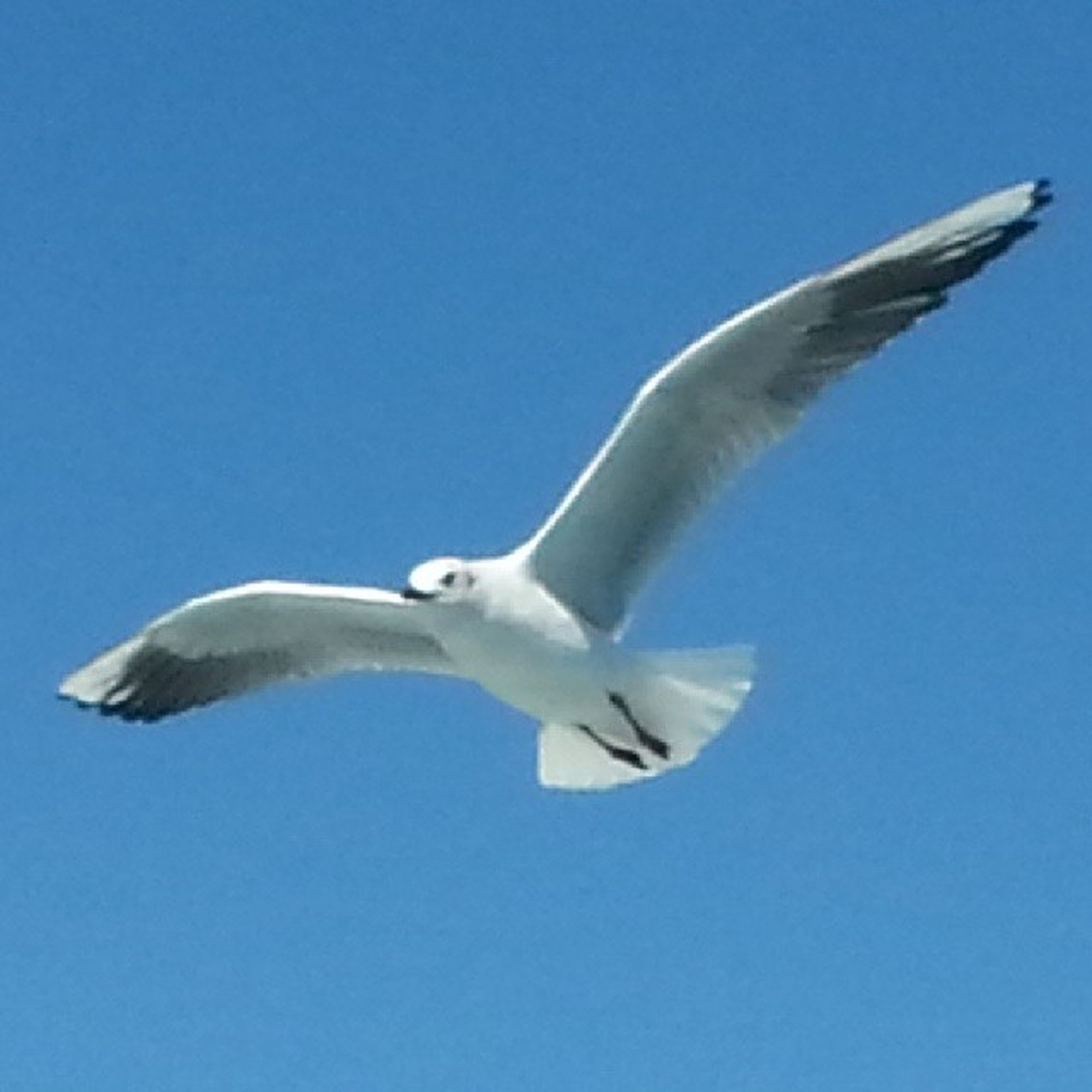 flying, spread wings, bird, animal themes, blue, mid-air, animals in the wild, low angle view, clear sky, seagull, wildlife, one animal, copy space, motion, flight, on the move, day, animal wing, nature, sky