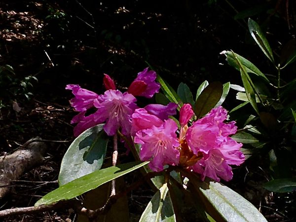 Subject : A Rhododendron Tree In Full Blossom Growing in the Natural Habitat. Beauty In Nature Nature Plant Tree Blossom Pink Color Blooming Leaf Green Color Growth Fragility Freshness Day Outdoors No People Close-up . Taken in Higashi-Hiroshima , Japan on May 23, 2017 ( Submitted on June 20, 2017 )