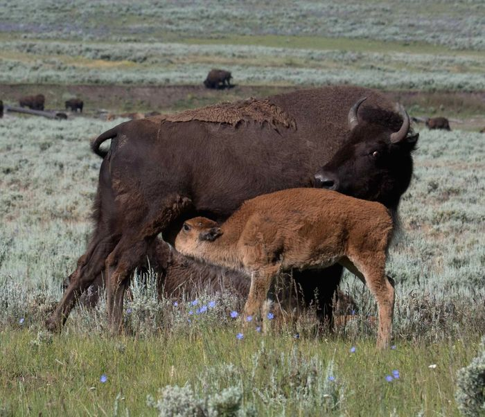 A buffalo and her calf in Yellowstone National Park. Buffalo Bison Yellowstone National Park Buffalo Calf Bison Calf Yellowstonenationalpark