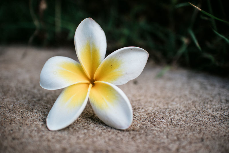 Beauty In Nature Close-up Day Flower Flower Head Fragility Frangipani Freshness Growth Lantom Flower Leelawadee Leelawadee Flower Nature No People Outdoors Petal Plumeria Plumeria Flower Pulmeria